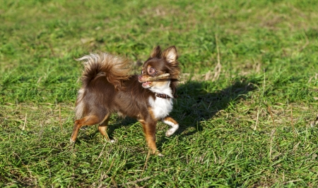 bright chocolate chihuahua playing with stick on sunny meadow photo