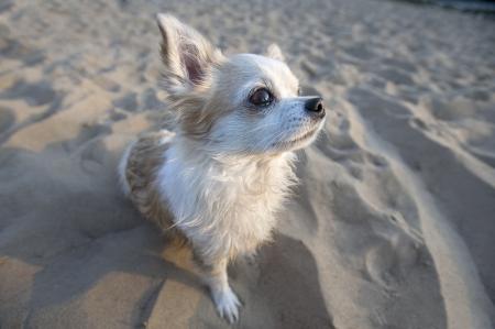 chihuahua desert: cute Chihuahua dog sitting on beach sand at sunset