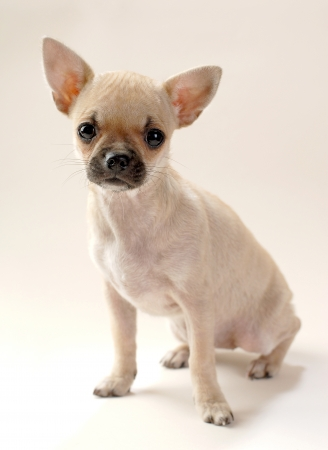 gentle fawn Chihuahua puppy sitting on neutral background  Stock Photo