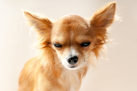 disgruntled: chihuahua dog head with  disgruntled expression close-up on neutral background
