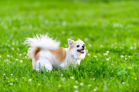 cheerful chihuahua dog walking on summer meadow