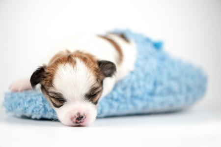 tiny  Chihuahua baby sleeping in blue slipper close-up on white background  photo