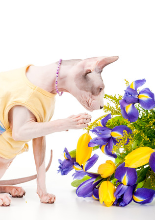 Canadian Sphynx cat wearing yellow dress and pearl necklace with bouquet of spring flowers on white background photo