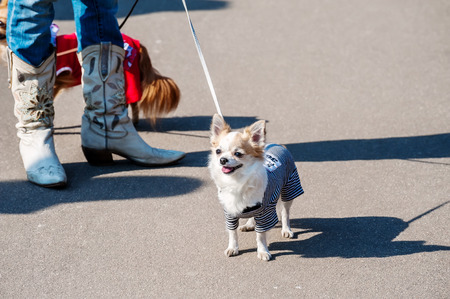 dog in costume: Chihuahua dog dressed in prisoner costume on city street