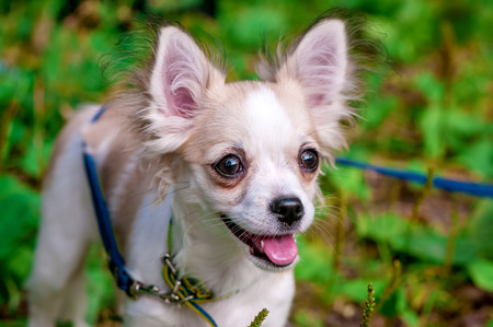 beautiful Chihuahua dog standing against background  of nature  photo