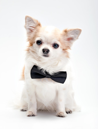 cute Chihuahua dog  with black bow tie sitting on white background