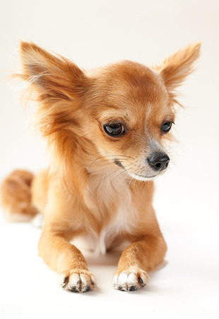 adorable chihuahua dog close-up lying down on neutral background  photo