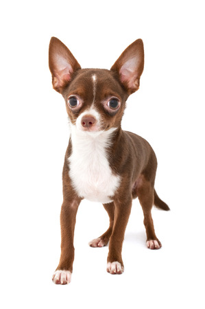 chocolate brown chihuahua dog with white making step forward on white background photo