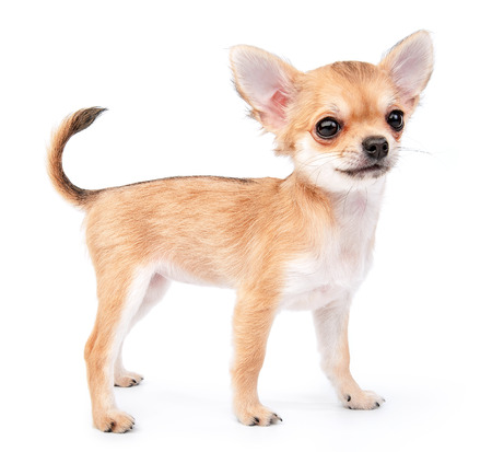 small cute chihuahua puppy standing on white background