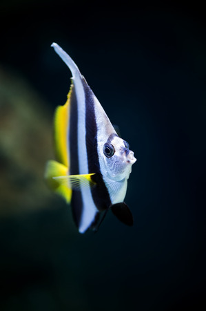 bannerfish: Schooling bannerfish (Heniochus diphreutes) marine fish close-up in aquarium (shallow focus) Stock Photo