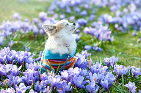 Chihuahua dog dreaming among purple crocus flowers gentle spring scene