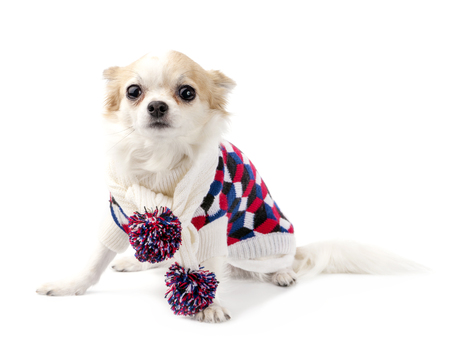 checkered scarf: Chihuahua dog wearing knitted scarf with colorful pompoms and turtleneck sweater sitting on white background looking at camera