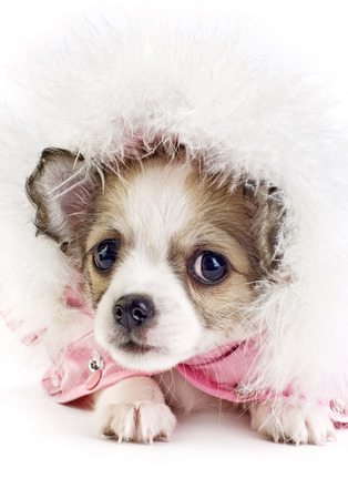 likeable: cute Chihuahua puppy portrait in hood with ornament of down on white background