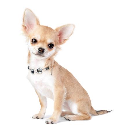 白い背景で隔離のジュエリー ネックレスを素敵なチワワの子犬