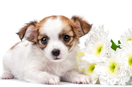 long haired chihuahua: sweet Chihuahua puppy with chrysanthemums  flowers close-up isolated on white background