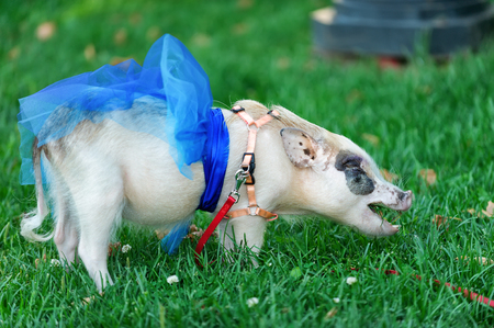 porker: white mini pig with blue ribbon eating green grass Stock Photo