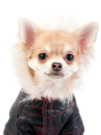 Chihuahua dog dressed in black jacket portrait close-up on white background Stock Photo