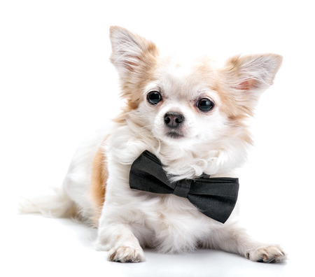 long haired chihuahua: Chihuahua dog  with black bow tie lying isolated on white background