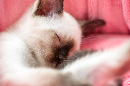 pink pussy: dozing adorable Thai kitten in pink pet bed close-up
