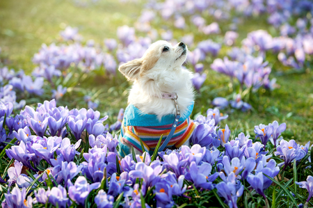 Chihuahua dog with purple crocus flowers beautiful natural background Stock Photo