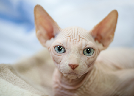 white Canadian sphinx kitten with blue eyes portrait close-up lying down on fur pet bed