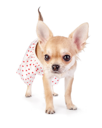 cute chihuahua puppy dressed in funny panties with red hearts standing isolated on white background Фото со стока