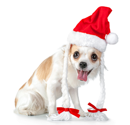happy Chihuahua dog with Santa hat, pigtails and bows isolated  on white background