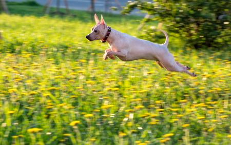 jumping American Hairless Terrier on green lawn with dandelions background 写真素材
