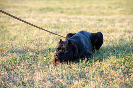 black Cane Corso breed dog lying down on grass with leash