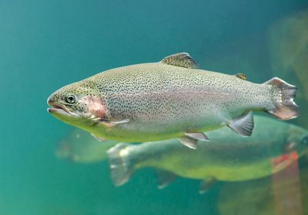 La truite arc-en-ciel (Oncorhynchus mykiss) gros plan de poisson flottant sous l'eau aigue-marine de la mer