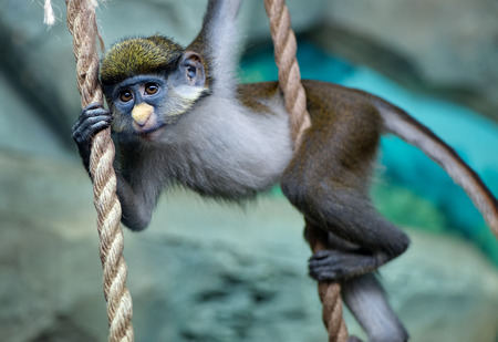 Redtail monkey baby (black-cheeked white-nosed monkey, red-tailed guenon) Cercopithecus ascanius hanging on rope at zoo