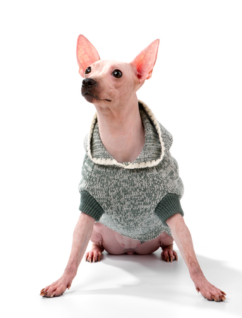 American hairless terrier dog wearing knitted hooded jacket sitting on white background