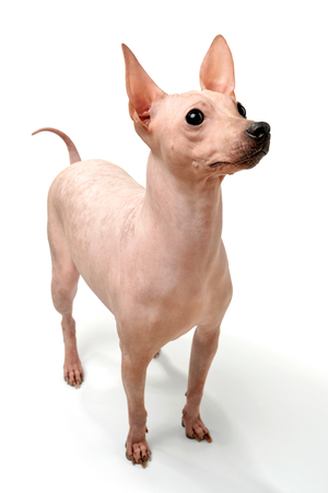 American hairless terrier dog close-up standing on white background