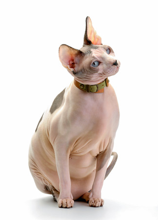 Canadian Sphynx cat with leather collar sitting on white background