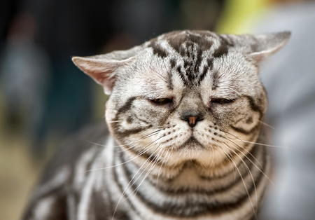 very sad american shorthair cat shaded silvers tabby portrait close-up