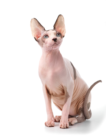Canadian Sphynx cat with blue eyes sitting on white background