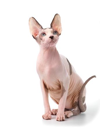 Gato Sphynx canadiense con ojos azules sentado sobre fondo blanco.
