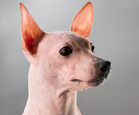 American hairless terrier dog profile portrait close-up on gray background Stockfoto