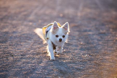 cute chihuahua dog wearing walking in beams of sunlight