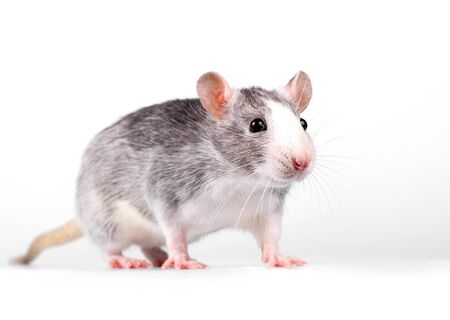 little rat standing on white background close-up looking at camera Imagens