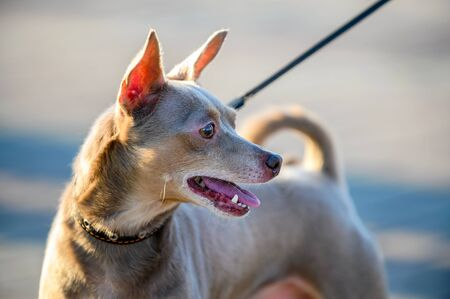 English toy terrier tan and brown profile portrait close-up outdoors at sunset