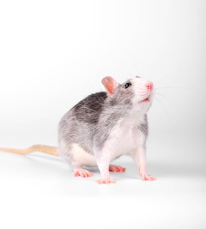 white-breasted gray pet rat standing on white background Imagens