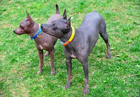 two american hairless terriers dogs with colorful collars on green lawn background Stockfoto