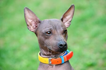 American hairless terriers dog close-up portrait with green collar on blurred green lawn background