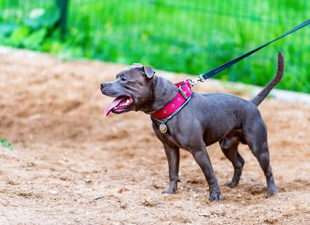 blue English Staffordshire Bull Terrier (Stafford or Staffie) standing on dog playground