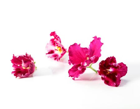 bright pink with white African violets (Saintpaulia ionantha) flower heads close-up isolated on white background Stock Photo
