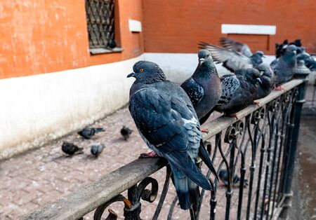 urban gray common pigeons (Columba livia) on  cast-iron fence against red brick wall building