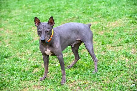 American Hairless Terriers dog dark brown with white spot on  chest standing on green grass natural background Imagens