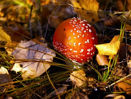 small colorful fly agaric (Amanita muscaria) in autumn forest among fallen leaves and grass Imagens