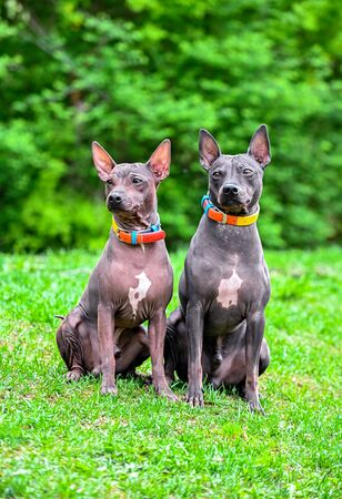 two American Hairless Terriers dogs  sitting on green grass against blurred natural background Imagens